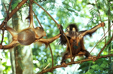Two Orangutans babies in the trees, Pongo Pygmaeus, Gunung Leuser National Park, Sumatra, Indonesia, Asia