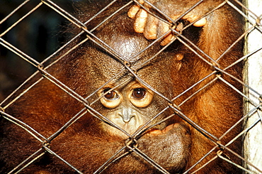 Orang-Utan baby behind the fence, Gunung Leuser National Park, Sumatra, Indonesia, Asia