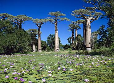 Baobabs near Morondava, Madagaskar