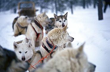 Huskies, Lappland, Sweden