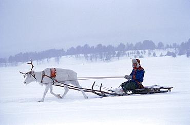 Man on reindeer sleigh in the snow, Lapland, Sweden, Europe