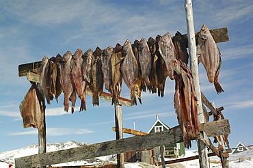 Dried fish, Fish hung up for drying, Ilimanaq, Klaushavn, Kaalalit Nunaat, Greenland