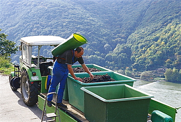 Man at vinetage at a mountainside, Rheingau, Hesse, Germany, Europe
