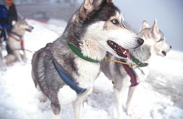 Sledge dogs, Stubai valley, Austria, Europe