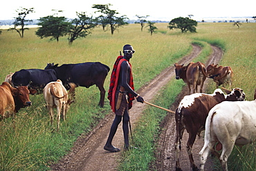 Massai herdsman with cattle, Massai Mara National Park, Kenya, Africa