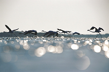 Pink flamingos, Phoenicopterus flying over Camargue, France