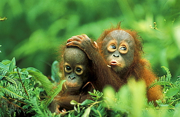 Two small orangutans, Gunung Leuser National Park, Sumatra, Indonesia, Asia