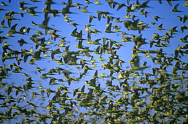 Swarm of budgerigars, Western Australia, Australia