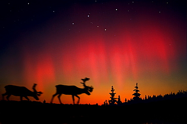 Northern lights above elks and coniferous trees, Lappland, Norway, Scandinavia, Europe - 1113-64511