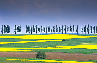 Europe, Germany, Lower Saxony, canola fields and avenues of trees near Duderstadt, Eichsfeld