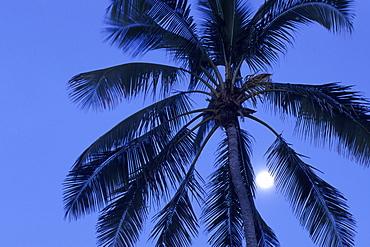 Coconut Tree and Full Moon, Rarotonga, Cook Islands