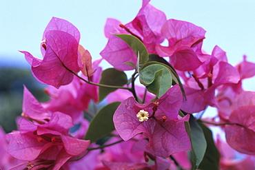 Purple Bougainvillea Flowers, Rarotonga, Cook Islands