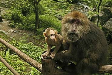 Two monkeys on a pilgrimage route, Emei Shan, Sichuan province, China, Asia