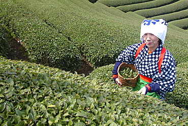 Woman picking tea leaves, Uji, Kyoto district, Japan