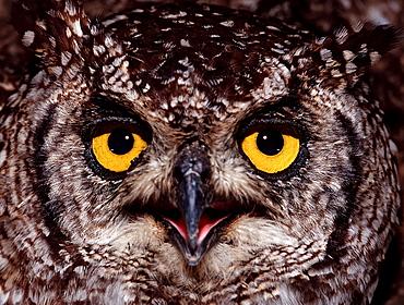 European Eagle Owl, Bubo bubo, Germany, Bavaria
