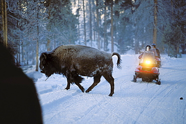 Bison crossing road in front of snowmobile, Yellowstone National Park, Wyoming, USA, America