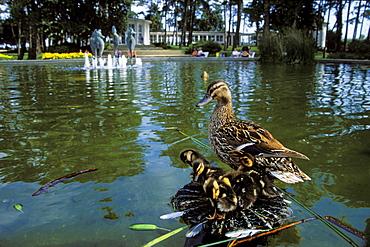 Mallard with chicks, Anas platyrhynchos, Timmendorf, Schleswig Holstein, Germany