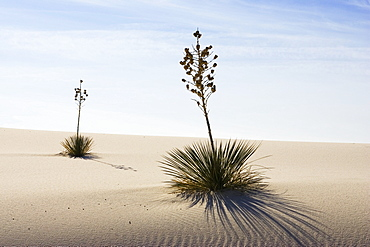 Yucca in dunes, White Sands National Monument, Chihuahua desert, New Mexico, USA
