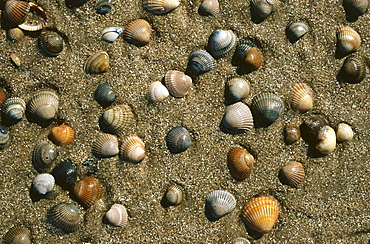 Cockles, Lower Saxony, North Sea, Germany