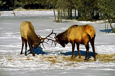 Wapitis, elks, mooses, Yellowstone National Park, Wyoming, USA