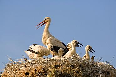 White stork with chicks in nest, Bulgaria, Europe