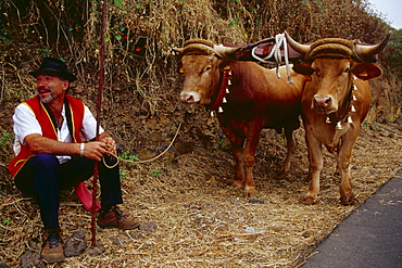 Man with oxen, Romeria, La Orotava, TenerifÈ, Canary Islands, Spain