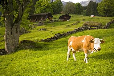 Cow grazing on alp, Grindelwald, Bernese Oberland (highlands), Canton of Bern, Switzerland