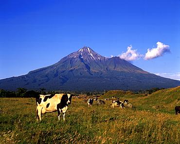 Cows, Mt. Taranaki, Mount Egmond National Park, New Zealand