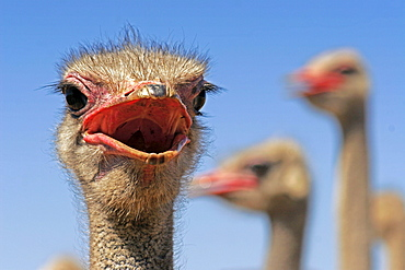 Ostriches, Oudtshorn, South Africa