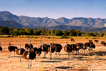 south africa, Karoo, Western cape, Oudtshorn, ostrich farm