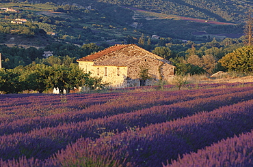 Country house with lavender field, near Nyons, Provence, France