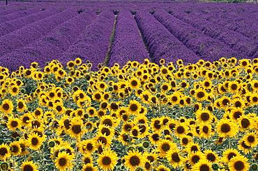 Sunflowers and lavender fields, Provence, France