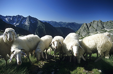 herd of sheep in Val di Mello, Bergell, Italy