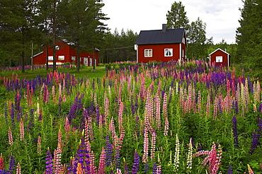 Red wooden houses near Gaeddede, Jaemtland, northern Sweden