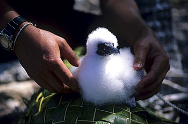Booby chick, National Park North Keeling Island, Australia