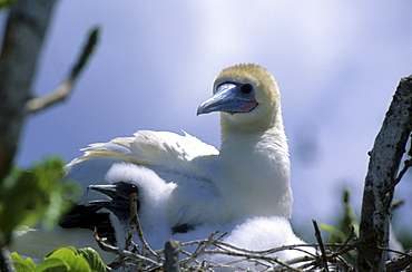 Island national Park North Keeling Island, booby chick with adult bird in nest, Australian