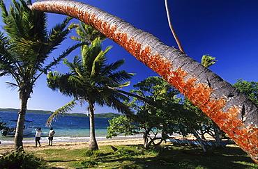 Palm trees on a beach of the island Matacava Levu, Yasawa group, Fiji, South Sea