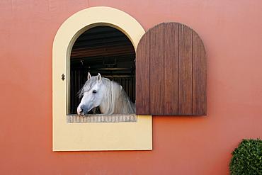 Horse looking out of a window, Hotel Hacienda La Boticaria, Vega de Alcala de Guadaira, near Sevilla, Andalusia, Spain, Europe