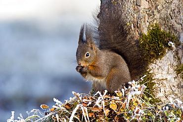Red Squirrel eating Hazelnut, winter, Bavaria, Germany, Sciurus vulgaris
