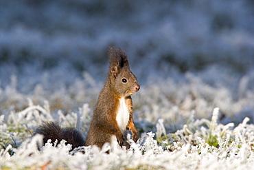 Red Squirrel at whitefrost, winter, Bavaria, Germany, Sciurus vulgaris