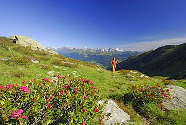 young woman hiking in sea of alpine roses with Stubai range and Tribulaun in background, Zinseler, Sarntal range, South Tyrol, Alta Badia, Italy
