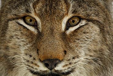 Portrait of male lynx, Lynx, Lynx lynx, outdoor-enclosure, Bavarian Forest National Park, Lower Bavaria, Bavaria, Germany
