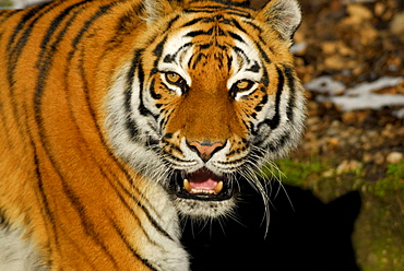 Siberian tiger baring its teeth, Panthera tigris altaica