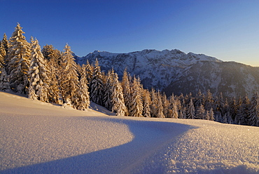 Snow-covered winter forest with hoar frost, rime ice on snow, Wilder Kaiser range in background, Zahmer Kaiser, Kaiser range, Kufstein, Tyrol, Austria