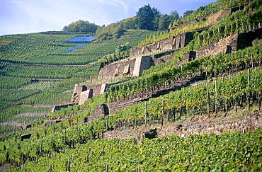 Vineyard Walporzheimer Garkammer, Walporzheim, Bad Neuenahr-Ahrweiler, Rhineland-Palatinate, Germany