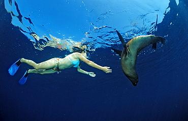 Californian Sea Lion and skin-diver, Zalophus californianus, Mexico, Sea of Cortez, Baja California, La Paz
