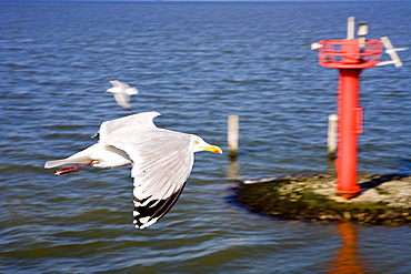 Seagull, East Frisia, North Sea, Lower Saxony, Germany