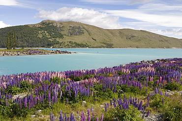 Lupine Field and Lake Tekapo, Lake Tekapo, Mackenzie Country, South Island, New Zealand