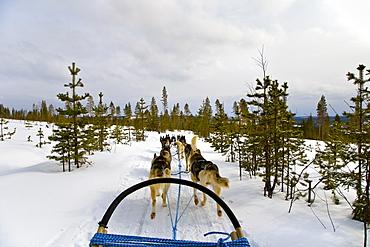 Ride with Dog Sledge through snowy landscape, Husky, Rovaniemi, Lapland, Finland, Europe