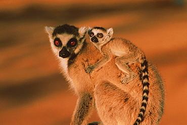Catta with baby, Lemur catta, Berenty, Madagaskar